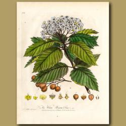 The White Beam Tree