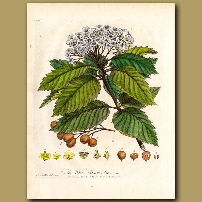 Antique print. The White Beam Tree
