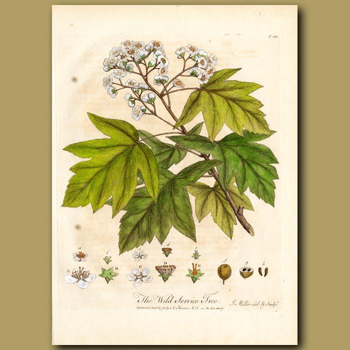 Antique print. The Wild Service Tree