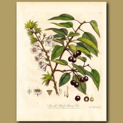 The Wild Black Cherry Tree