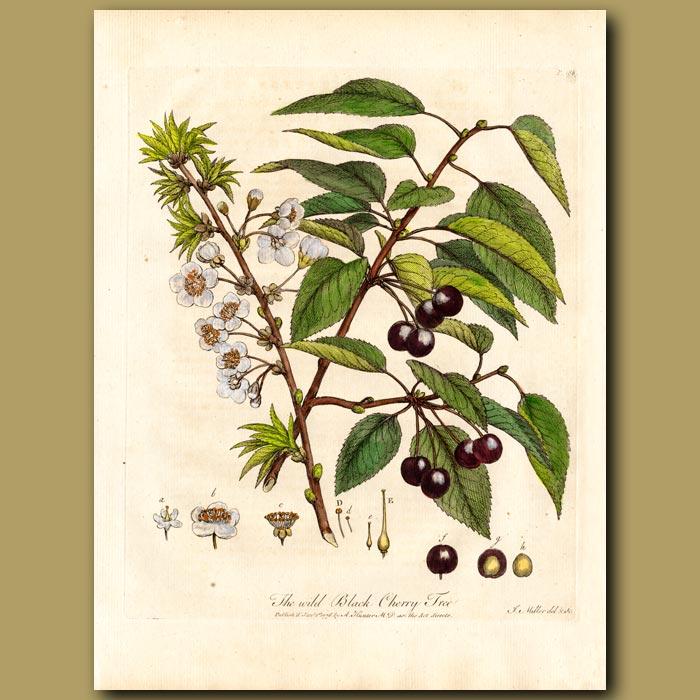 Antique print. The Wild Black Cherry Tree