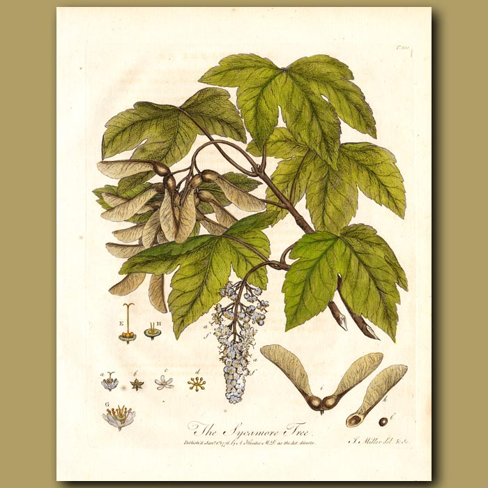 Antique print. The Sycamore Tree