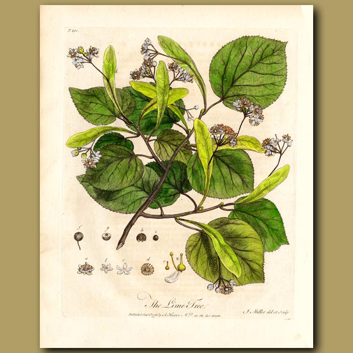 Antique print. The Lime Tree