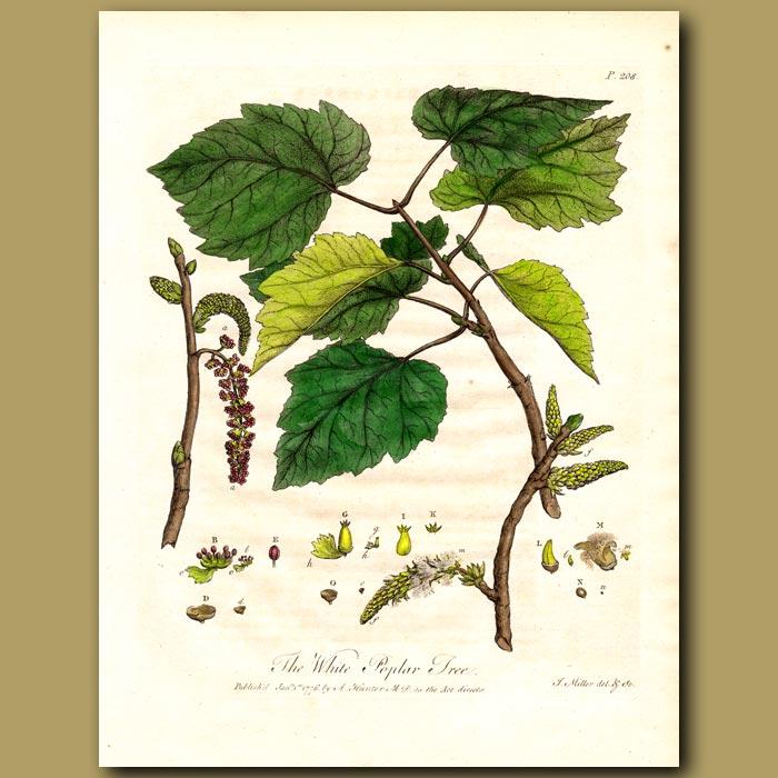 Antique print. The White Poplar Tree
