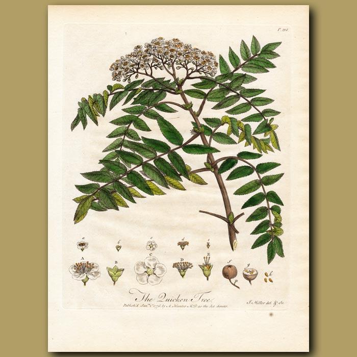 Antique print. The Quicken Tree or Wild Ash