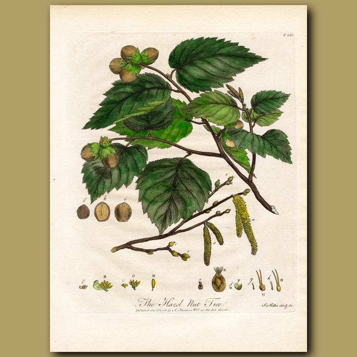 Antique print. The Hazel Nut Tree