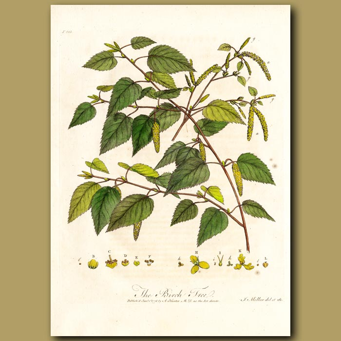 Antique print. The Birch Tree