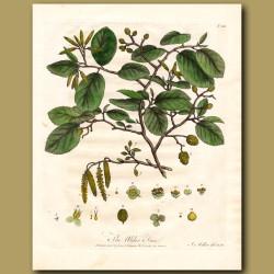 The Alder Tree