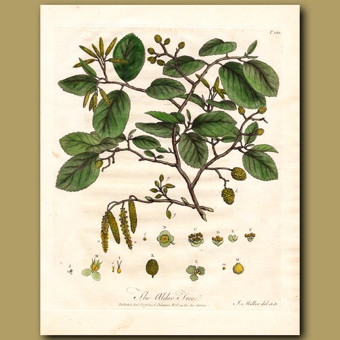 Antique print. The Alder Tree