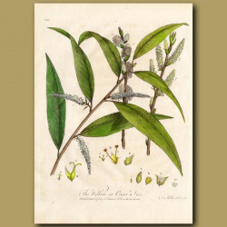 The Willow or Osier Tree