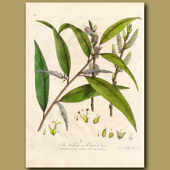 Antique print. The Willow or Osier Tree
