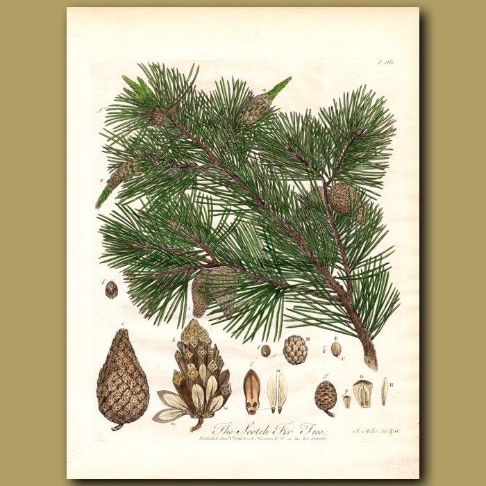 Antique print. The Scotch Fir Tree