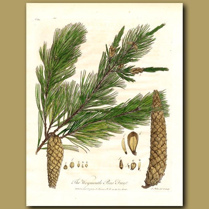 Antique print. The Weymouth Pine Tree