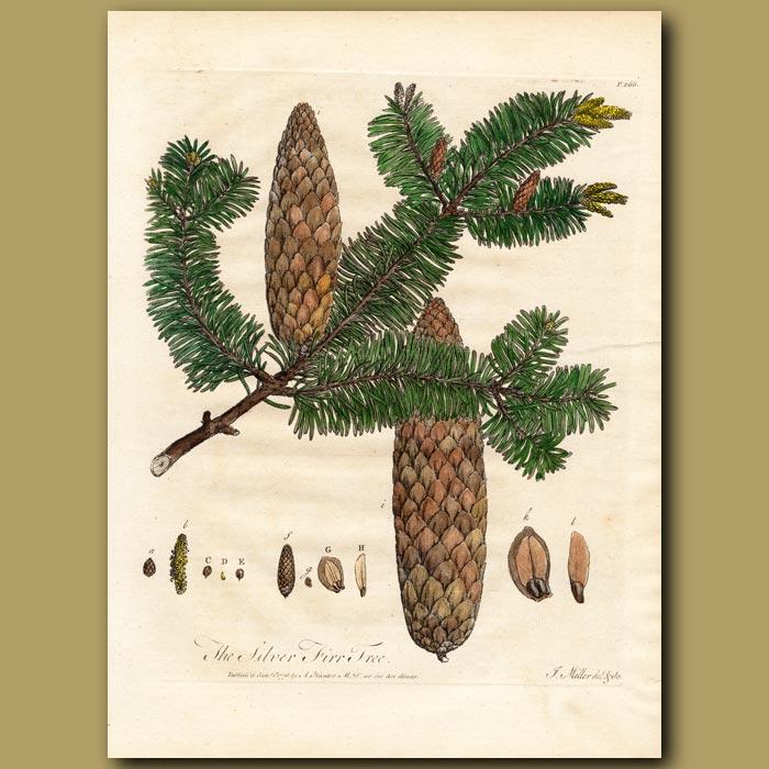Antique print. The Silver Fir Tree