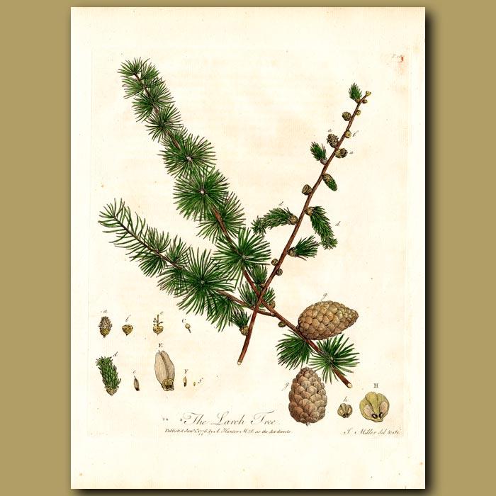 Antique print. The Larch Tree
