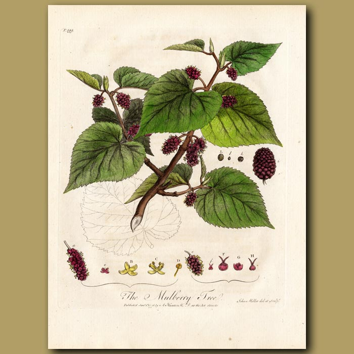 Antique print. The Mulberry Tree