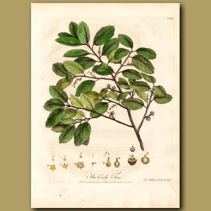 Antique print. The Cork Tree