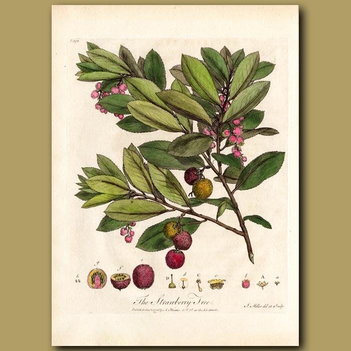 Antique print. The Strawberry Tree