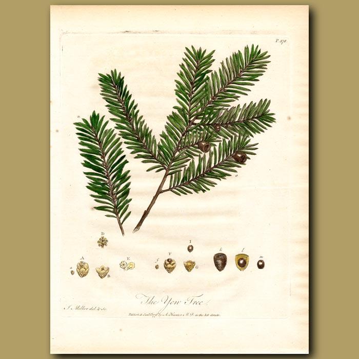 Antique print. The Yew Tree