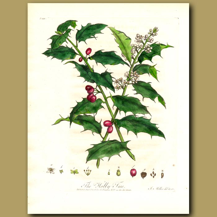 Antique print. The Holly Tree