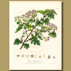 The Hawthorn