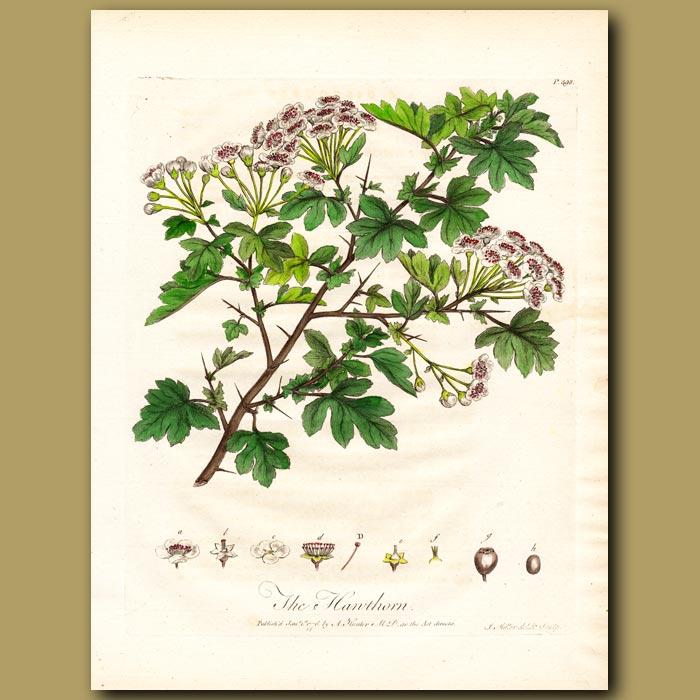Antique print. The Hawthorn