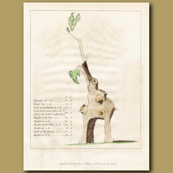 Antique print. Diagram of the Green Dale Oak