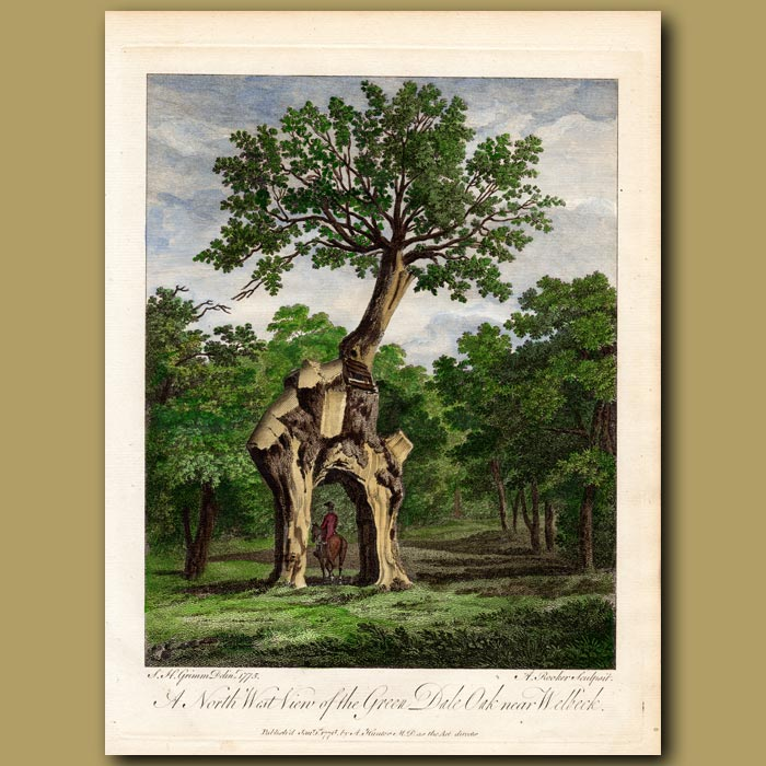 Antique print. A North East View of the Green Dale Oak near Welbeck, in Sherwood Forest