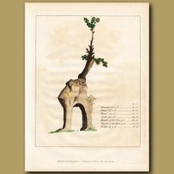 Diagram of the Green Dale Oak