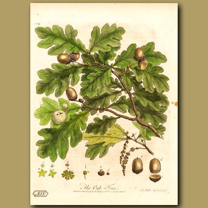 Antique print. The Oak Tree