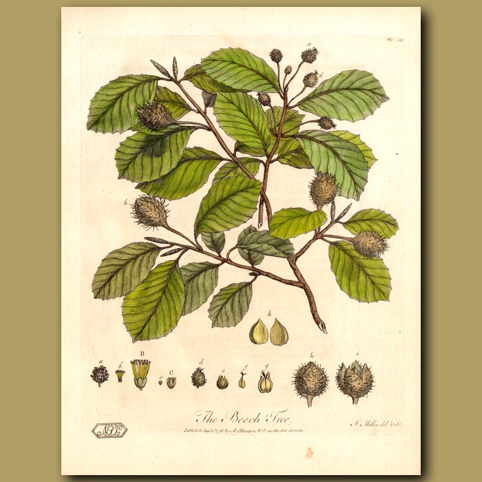 Antique print. The Beech Tree