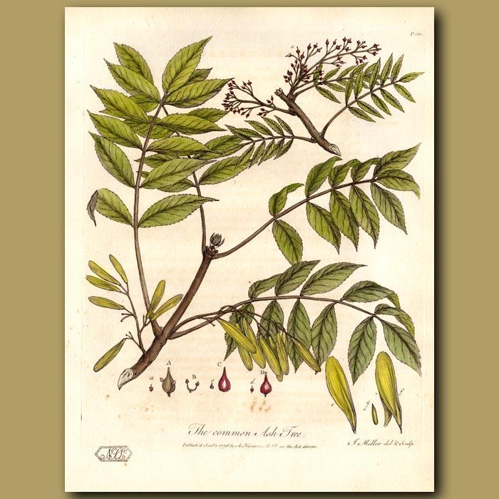 Antique print. The Common Ash Tree