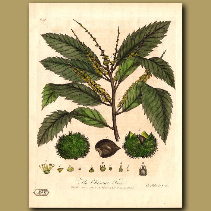Antique print. The Chesnut Tree