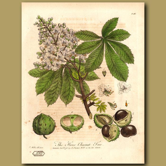 Antique print. The Horse Chesnut Tree
