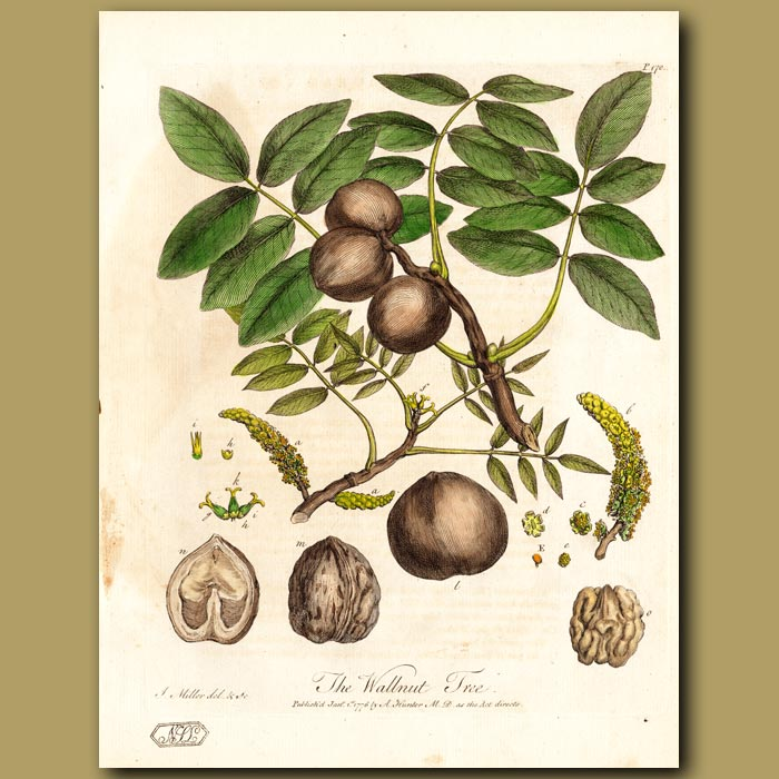 Antique print. The Walnut Tree