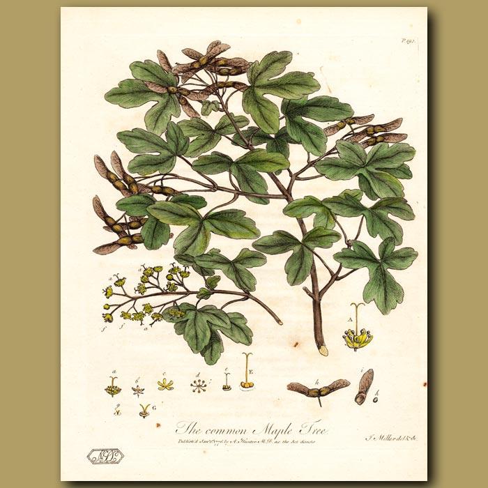 Antique print. The Common Maple Tree
