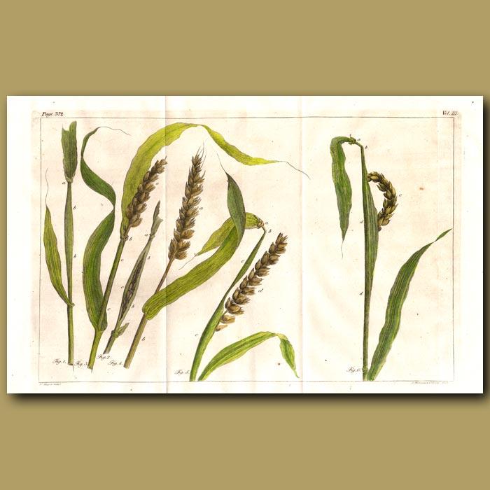 Antique print. Wheat