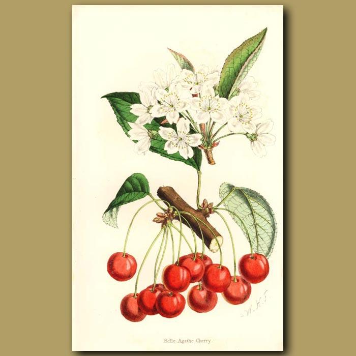 Antique print. Belle Agathe Cherry