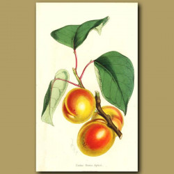 Apricots: Canino Grosso