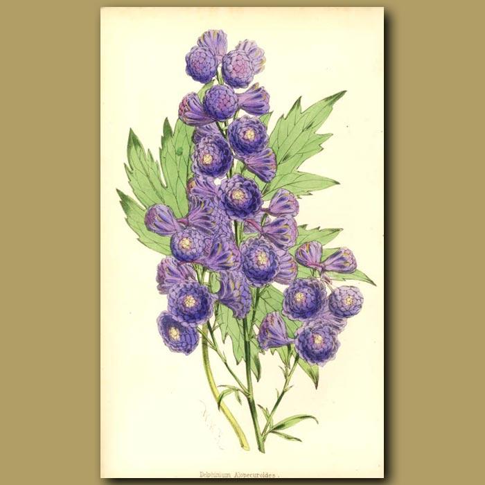 Antique print. Delphinium alopecuroides