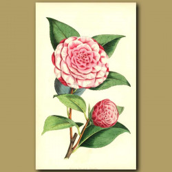 Camellia Carlotta Papudoff