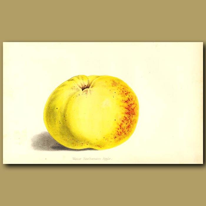 Antique print. Winter Hawthornden Apple