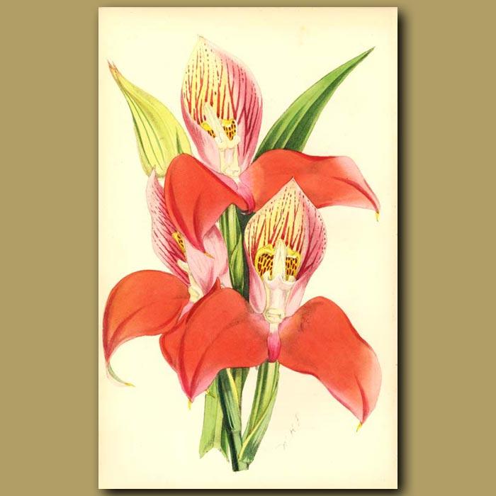 Antique print. Disa Grandiflora var. Superba