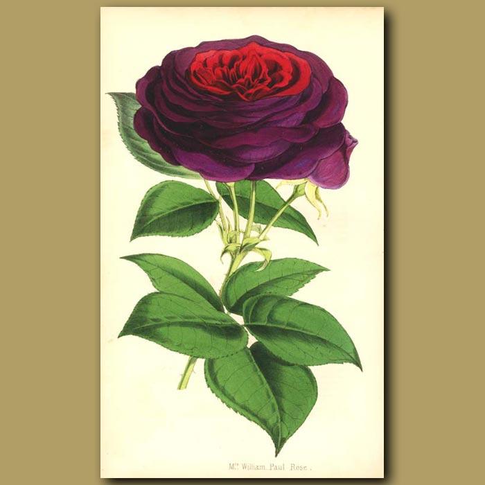 Antique print. Mrs William Paul Rose