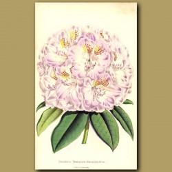 Rhododendron: Standish's Perfection
