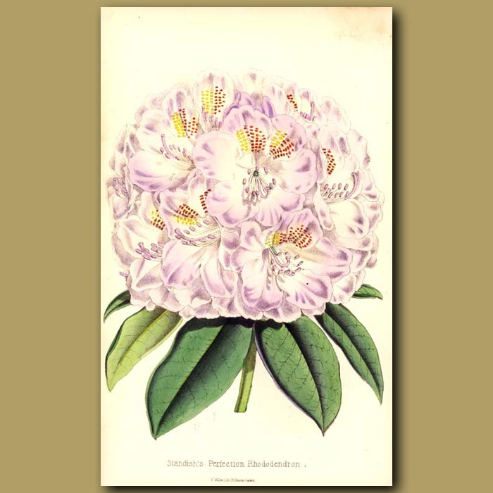 Antique print. Standish's Perfection Rhododendron