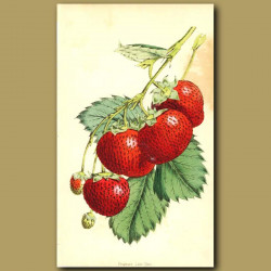 Strawberries: Frogmore Late Pine