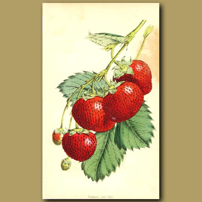 Antique print. Frogmore Late Pine Strawberry