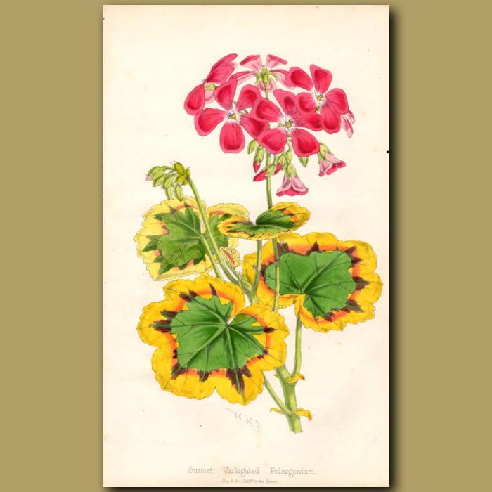 Sunset, Variegated Pelargonium: Genuine antique print for sale.