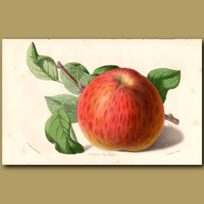 Northern Spy Apple: Genuine antique print for sale.